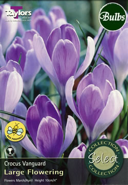 Vanguard Crocus Bulbs - Select Premium Variety