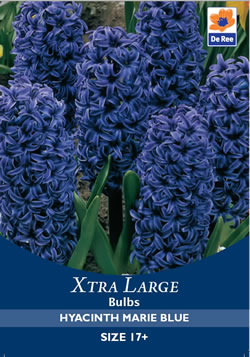 Image of Hyacinth Marie Blue Xtra Large Bulbs