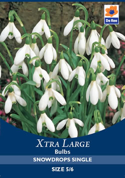 Image of Snowdrops Single Xtra Large Bulbs