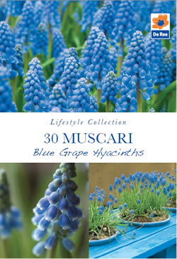 Image of Muscari Blue Grape Hyacinth Lifestyle Collection Bulbs