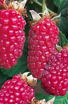 Tayberry Canes Rubus Tayberry 163 5 99 At Garden4less Uk
