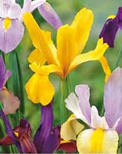 Image of Dutch Iris Mixed Lifestyle Collection Bulbs