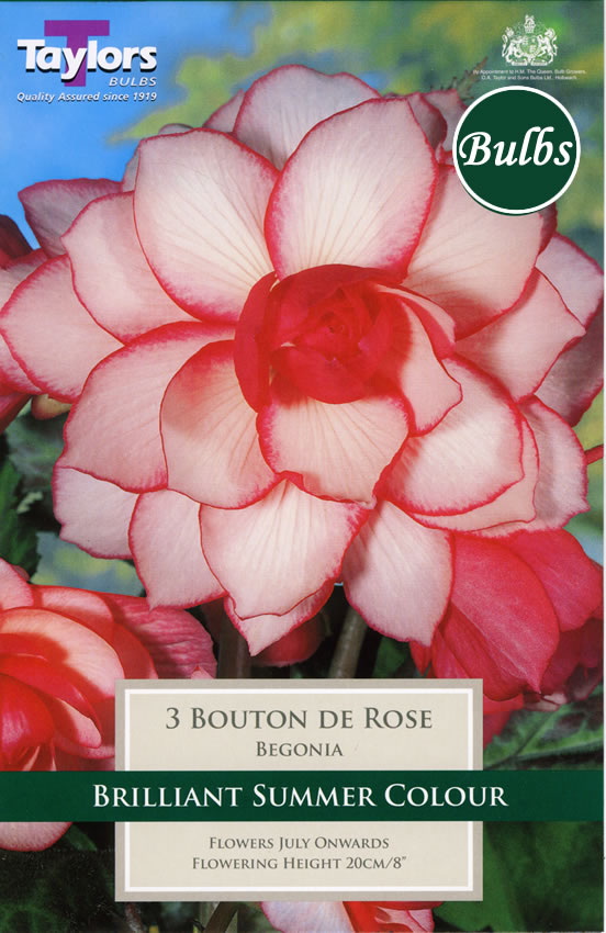 Image of Bouton de Rose-Exotic Begonia Bulb