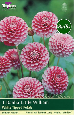 Image of Little William-Pompom and Ball Dahlia Tuber
