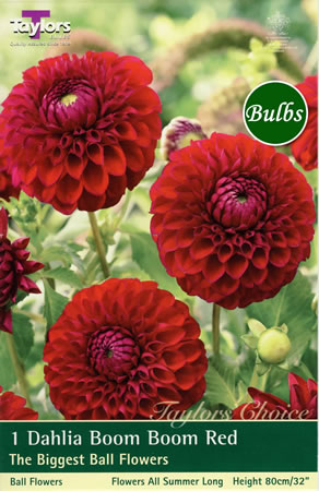Image of Boom Boom Red  Dahlia Tuber