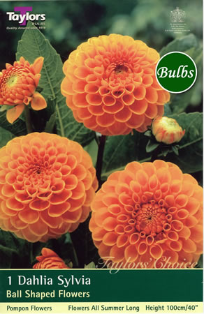 Image of Sylvia-Pompom and Ball Dahlia Tuber