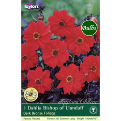 Small Image of Bishop of Llandaff-Dark Bronze Foliage Dahlia Tuber