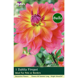 Small Image of Firepot-Special Dahlia Tuber
