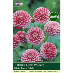 Small Image of Little William-Pompom and Ball Dahlia Tuber