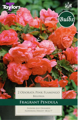Small Image of Odorata Pink Flamingo Exotic Begonia Bulb