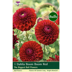 Small Image of Boom Boom Red  Dahlia Tuber
