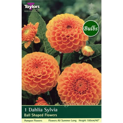 Small Image of Sylvia-Pompom and Ball Dahlia Tuber