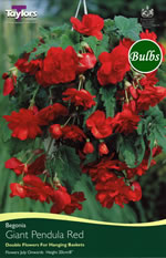 Red Giant Pendula Begonia Bulb