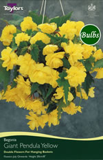 Yellow Giant Pendula Begonia Bulb