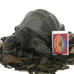 Extra image of Pet Pals Baby Tortoise - Resin Garden Ornament