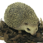 Image of Pet Pals Pygmy Hedgehog - Resin Garden Ornament