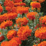 Small Image of Mr Fothergills Marigold (African) Kees Orange Seeds