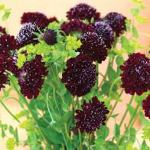 World Botanics Scabious Black Knight