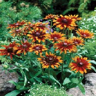 Image of World Botanics Rudbeckia Moreno Seeds