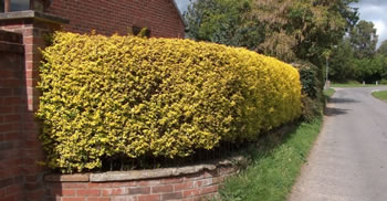 Image of 25 x 3ft tall Golden  Privet bare root hedge plants