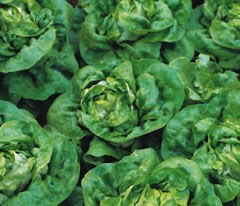 Image of Buttercrunch Lettuce plants