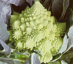 Image of Cauliflower Romanesco plants