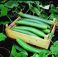 Image of Cucumber plants