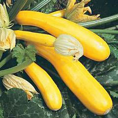 Image of Yellow Courgette plants
