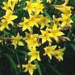 Image of Hemerocallis Day Lily 'Middendorffii' 19cm Pot Size