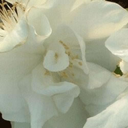Image of Philadelphus 'Snowbells' 19cm Pot Size