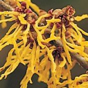 Image of Hamamelis x intermedia 'Arnold Promise' Witch Hazel 19cm Pot Size