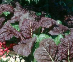 Image of Giant Red Mustard plants