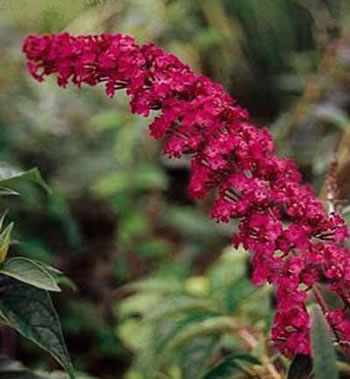 Image of Buddleja davidii 'Royal Red' - Butterfly Bush 15cm Pot Size