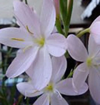 Image of Schizostylis 'Pink Princess' 15cm Pot Size
