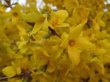 Image of Forsythia x intermedia 'Lynwood Gold' 12cm Pot Size