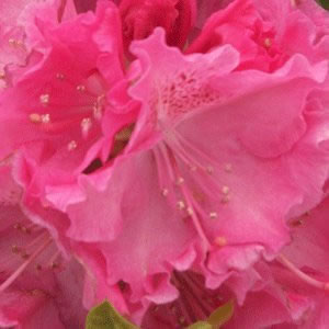 Image of Rhododendron Hardy Hybrid 'Germania' 30cm Pot Size
