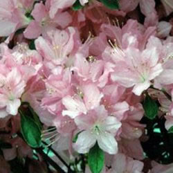 Image of Azalea japonica Evergreen  'Gilbert Mullie' 13cm Pot Size