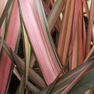 Image of Phormium 'Flamingo' 19cm Pot Size