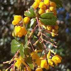Image of Berberis darwinii 15cm Pot Size