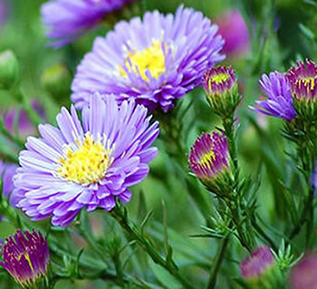 Image of Aster 'Sapphire' 15cm Pot Size
