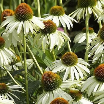 Image of Echinacea purpureum 'Alba' 19cm Pot size