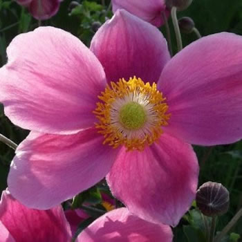 Image of Anemone hupehensis 15 cm Pot Size