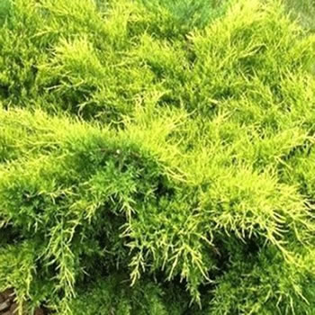 Image of Juniperus x media 'Old Gold' 19cm Pot Size