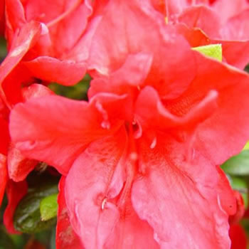Image of Azalea japonica Evergreen  'Florida' 13cm Pot Size