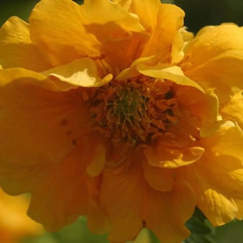 Image of Geum 'Lady Stratheden' 12cm Pot Size