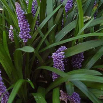 Image of Liriope 'Purple Passion' 15cm Pot Size