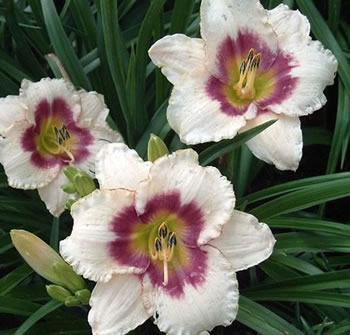Image of Hemerocallis Day Lily 'Blueberry Candy' 23cm Pot Size