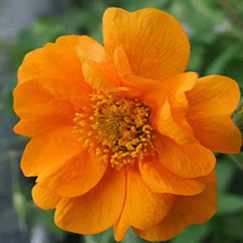 Image of Geum 'Prince of Orange' 15cm Pot Size