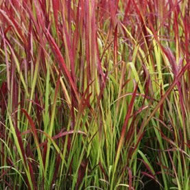 Image of Imperata cylindrica 'Red Baron' 19cm Pot Size