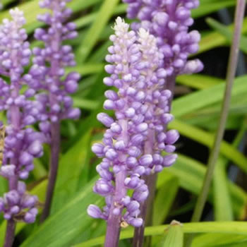 Image of Liriope spicata 'Moneymaker' 15cm Pot Size